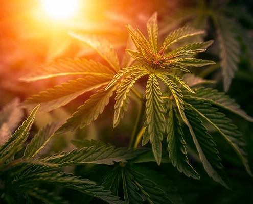 Cannabis Laws in California