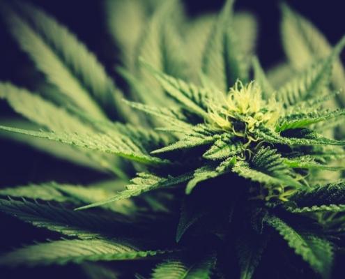 Marijuana Strain